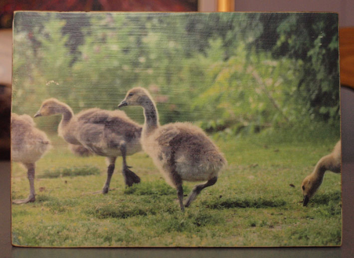 Original Photo Print | Young Geese Goslings | Reclaimed Wood