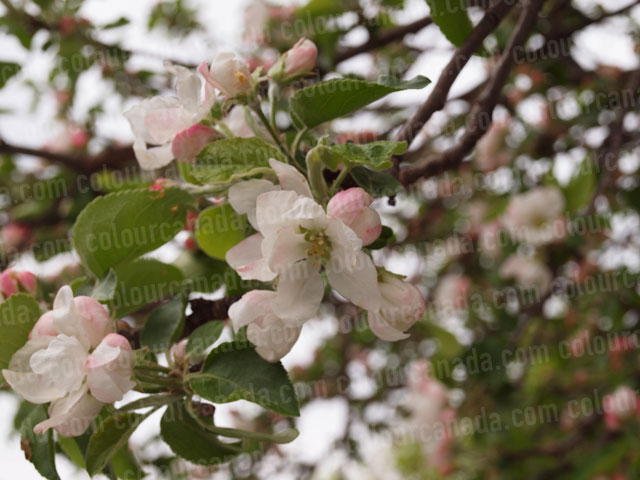 Apple Blossoms Close Up (2) | Cheap Stock Photo