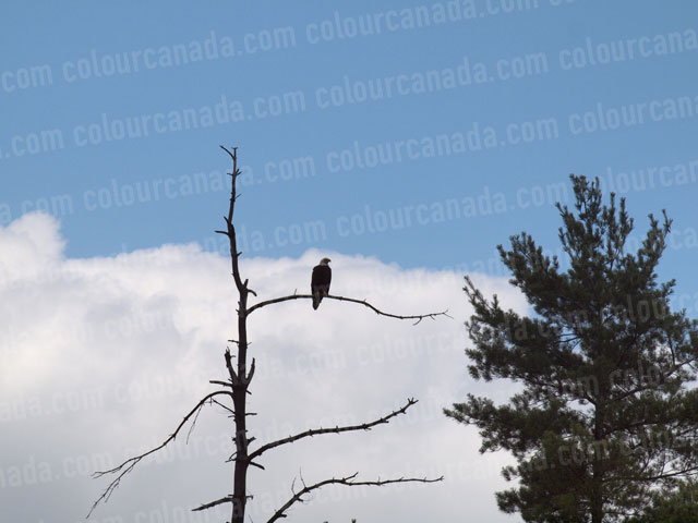 Bald Eagle (3) | Cheap Stock Photo