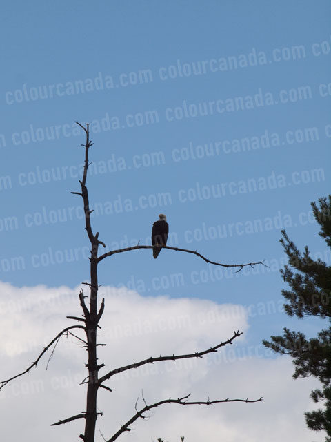 Bald Eagle (4) | Cheap Stock Photo