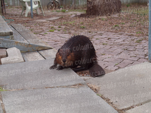 Beaver (2) | Cheap Stock Photo