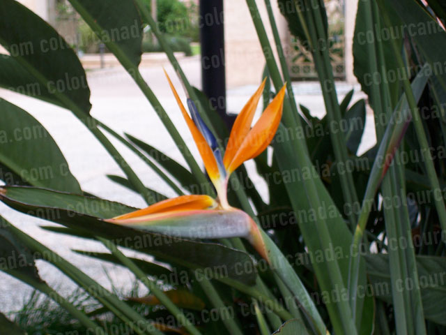 Bird of Paradise Flower | Cheap Stock Photo
