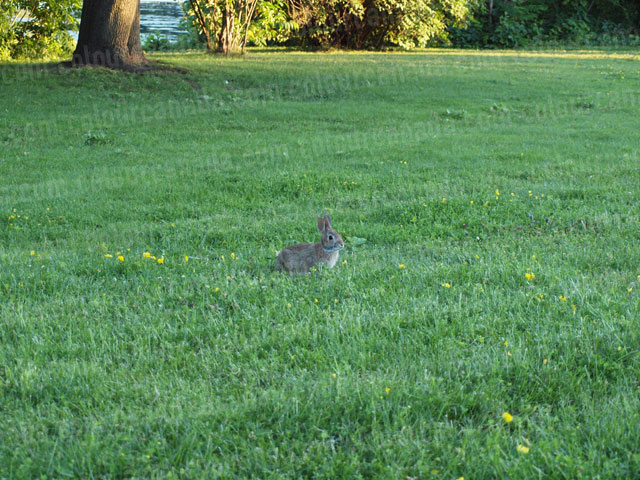 Bunny Rabbit in the Grass | Cheap Stock Photo