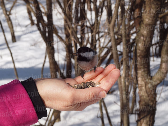 Chickadee Eating from a Hand | Cheap Stock Photo