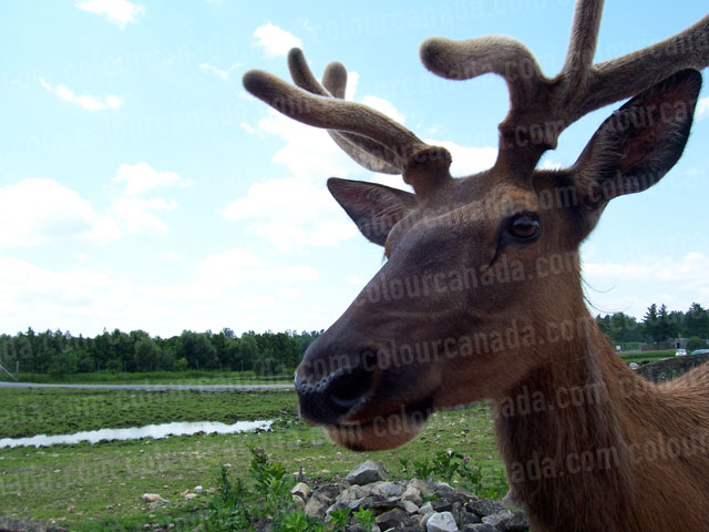 Close Up of Deer's Face & Antlers | Cheap Stock Photo