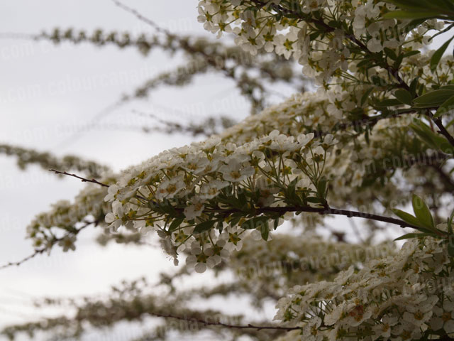 Detail of a Spiraea In Bloom | Cheap Stock Photo