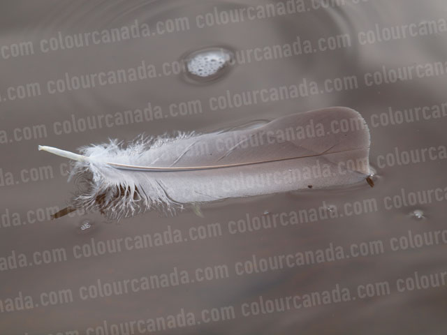 Feather Floating in Water | Cheap Stock Photo