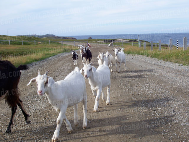 Goats on an Ocean Path | Cheap Stock Photo