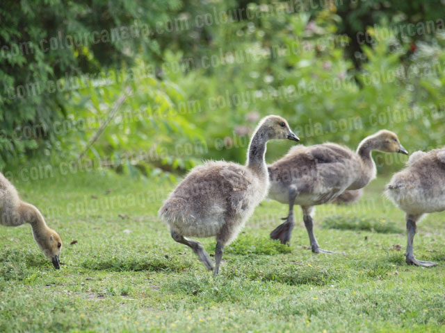 Gosslings in the Grass | Cheap Stock Photo
