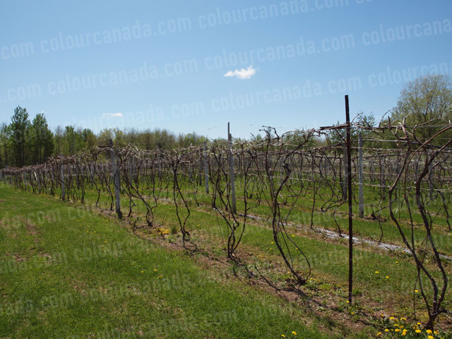 Spring Grape Vines | Cheap High Resolution Stock Photo
