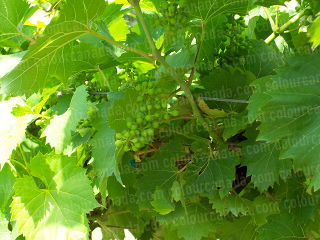 Young Wine Grapes on the Vine | Cheap Stock Photo