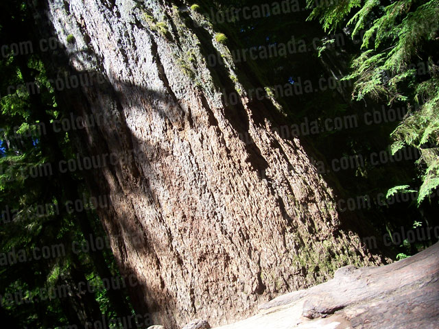 Giant Fir Tree Trunk at Cathedral Grove | Cheap Stock Photo