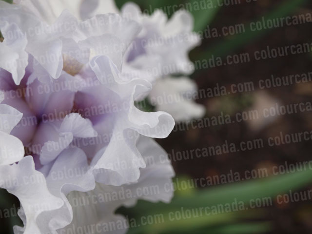 Iris Flower (2) Close Up | Cheap Stock Photo