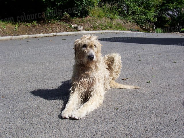Irish Wolf Hound Sitting in the Sun | Cheap Stock Photo
