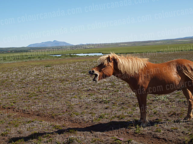 Icelandic horse laughing | Cheap Stock Photo