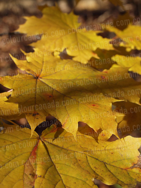 Maple Leaves Turning Red in the Fall | Cheap Stock Photo