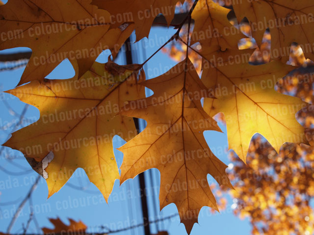 Oak Leaves In The Fall (2) | Cheap Stock Photo