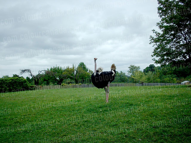 Ostrich in a Field | Cheap Stock Photo