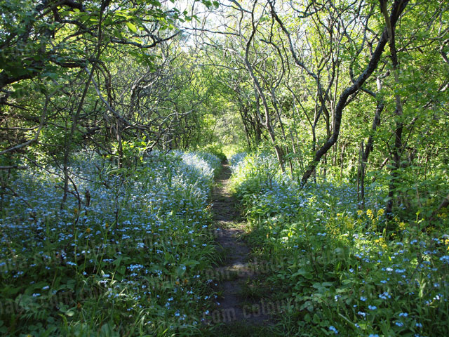 Path of Blue Flowers | Cheap High Resolution Stock Photo