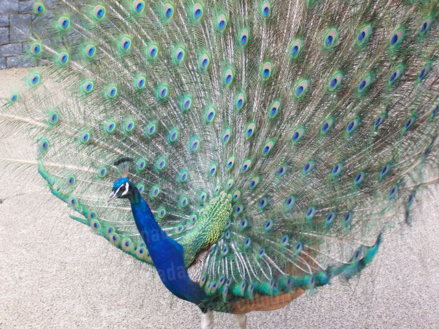 Peacock with Spread Tail | Cheap Stock Photo