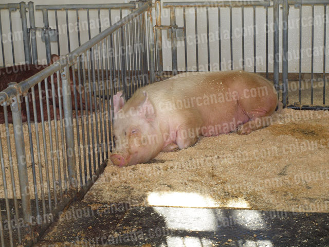 Pig (1) Large Pink Pig in Pen | Cheap Stock Photo