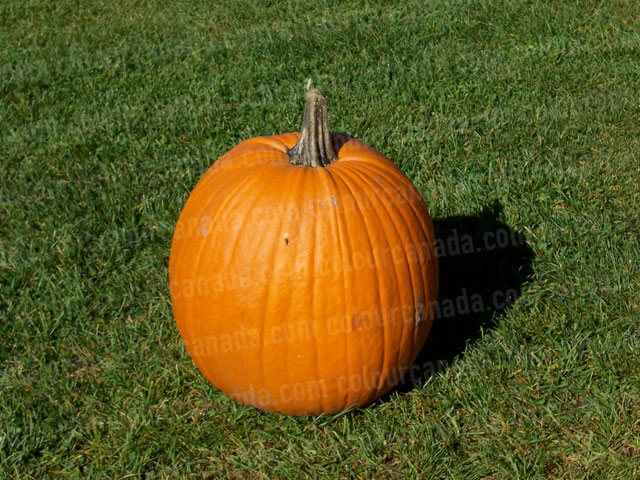 Pumpkin in the Grass | Cheap Stock Photo