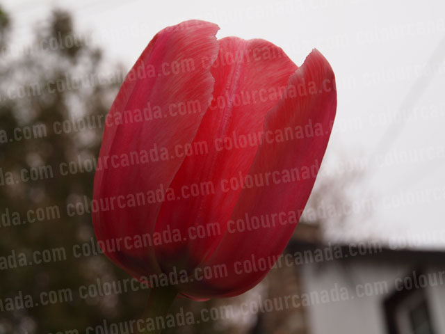Red Tulip Close Up | Cheap Stock Photo