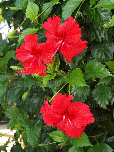 Roatan Flowers (2) Red Tropical Hibiscus | Cheap Stock Photo