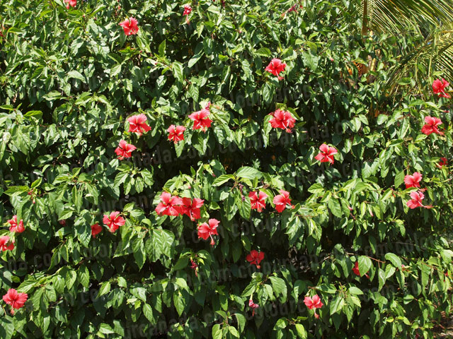 Roatan Flowers (5) Red Hibiscus | Cheap Stock Photo