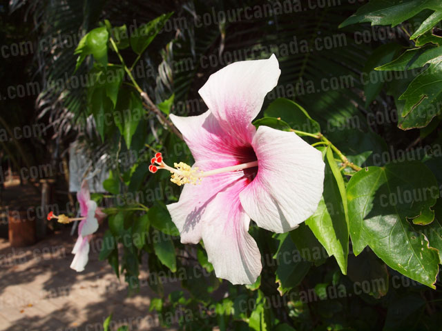 Roatan Flowers (6) Tropical Pink Hibiscus | Cheap Stock Photo