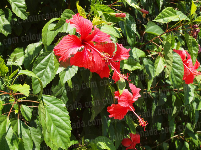 Roatan Flowers (7) Tropical Red | Cheap Stock Photo