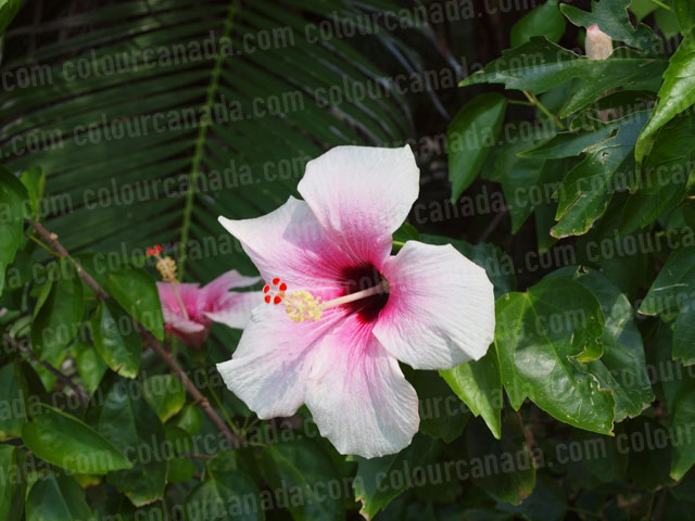 Roatan Flowers (8) Tropical Pink Hibiscus | Cheap Stock Photo