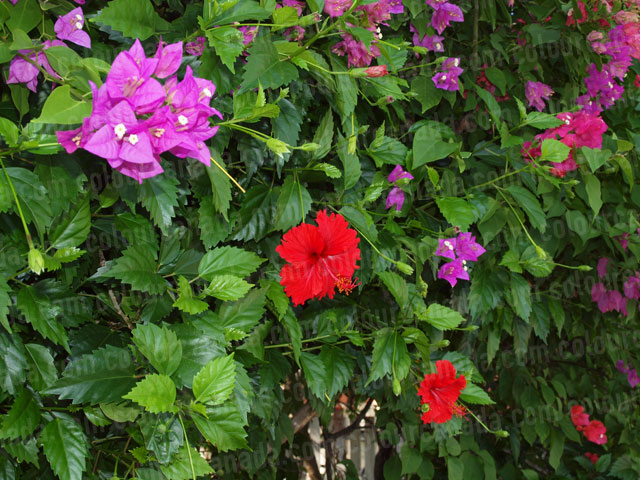 Roatan Flowers (9) Pink and Red Tropical | Cheap Stock Photo