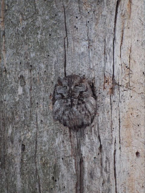 Screech Owl (1) | Cheap Stock Photo