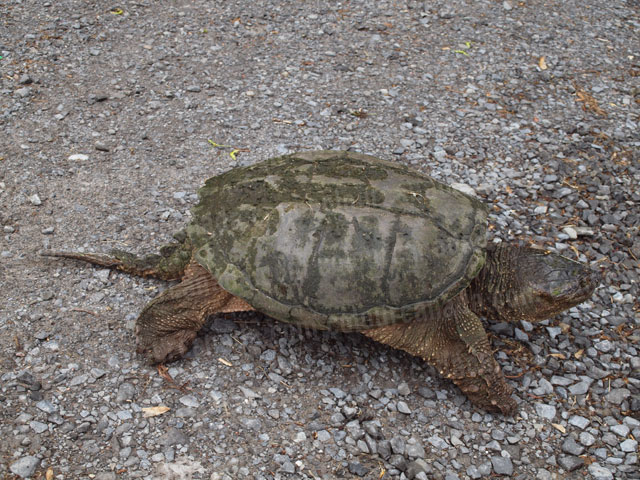 Snapping Turtle on Gravel Path | Cheap Stock Photo