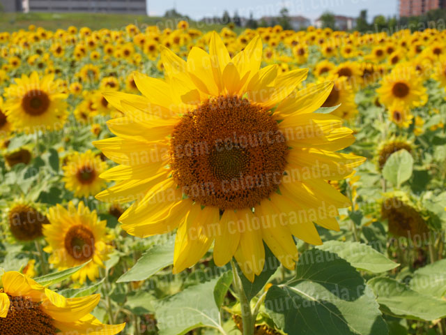 Sunflowers (2) | Cheap Stock Photo