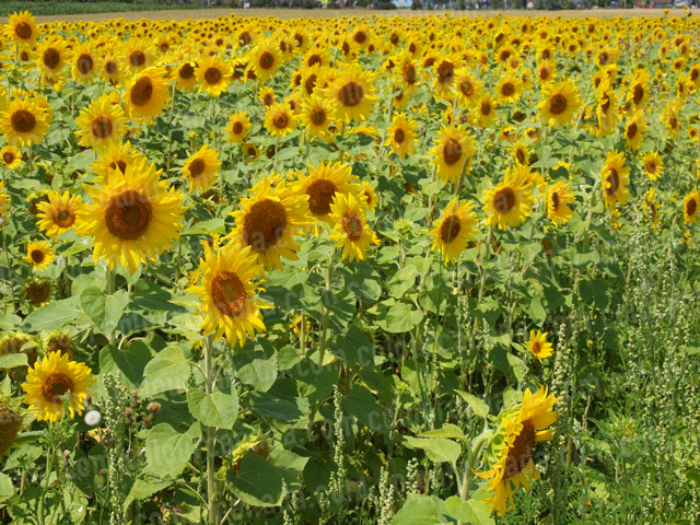 Sunflowers (3) | Cheap Stock Photo