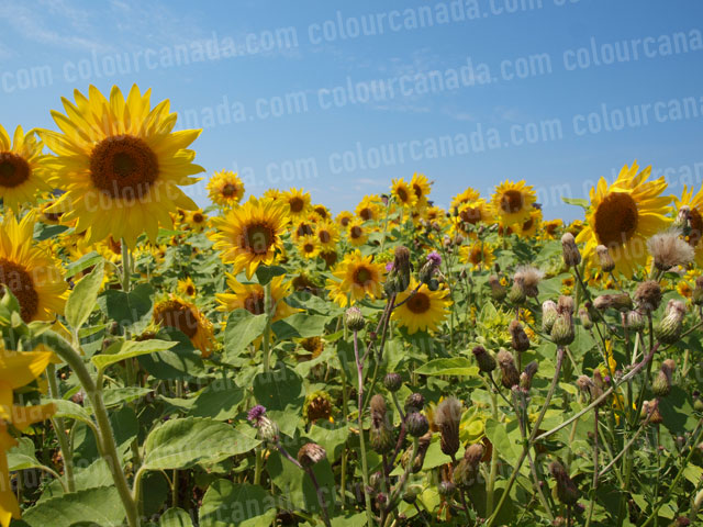 Sunflowers (4) | Cheap Stock Photo