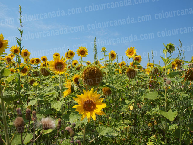Sunflowers (5) | Cheap Stock Photo - Click Image to Close