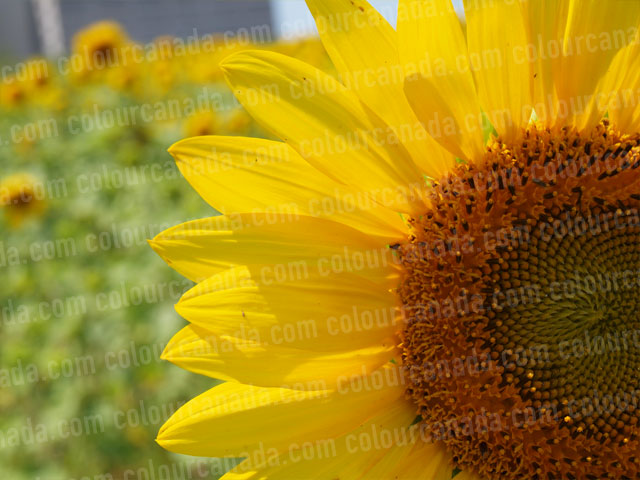 Sunflwers (9) | Cheap Stock Photo