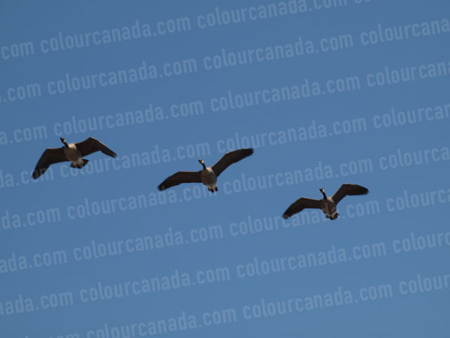 Three Canada Geese Flying | Cheap Stock Photo