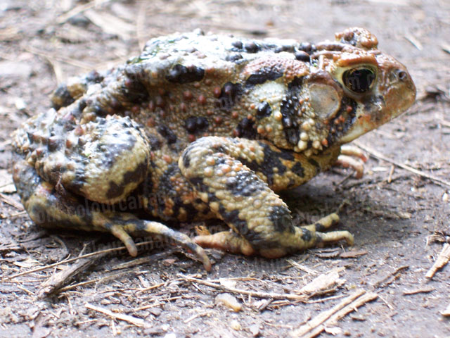 Close up of a Toad | Cheap Stock Photo