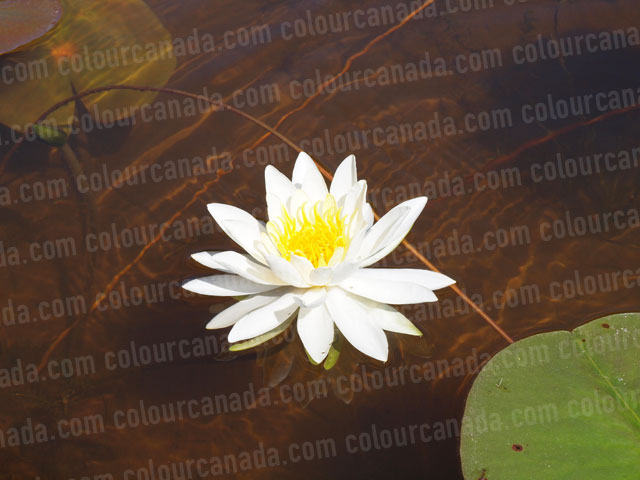 White Water Lily in Full Bloom | Cheap Stock Photo