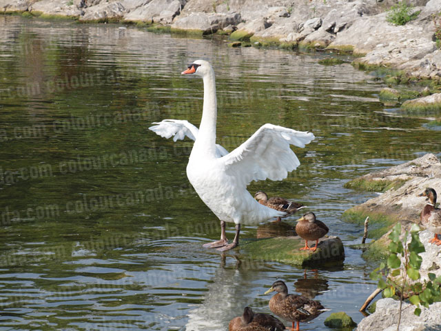 White Swan (1) | Cheap Stock Photo
