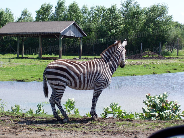 Zebra by a Lake | Cheap Stock Photo